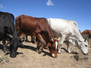 Still what it is all about? – Maasai cattle