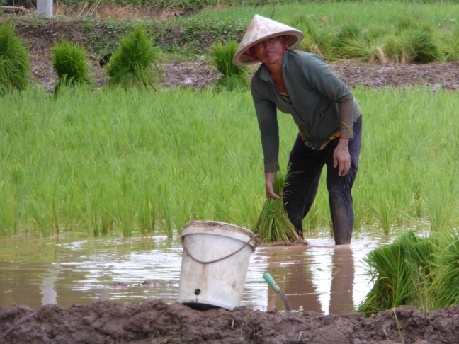 Woman working in the rice fields